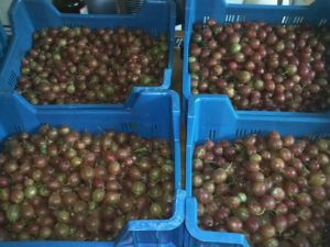 40 kilo's / 88 lbs of gooseberries